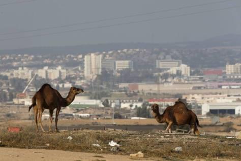 Camellos en un asentamiento de beduinos en las afueras de Beersheba (al fondo).
